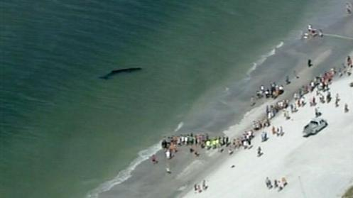 tampa whale stranding