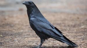 hi-bc-130716-raven-8col