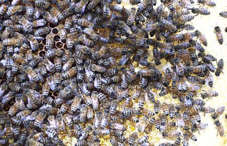 bees-frame_1726405c (1)