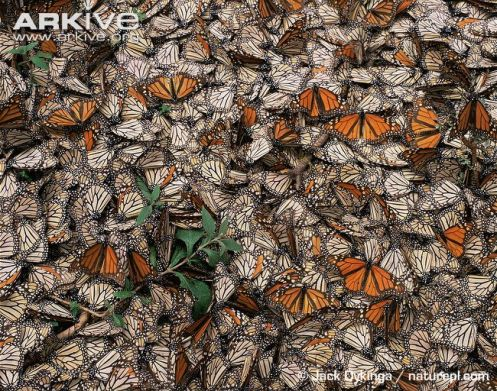 Dead-and-dying-monarch-butterflies (1)