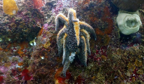 sick-juvenile-sunflower-star