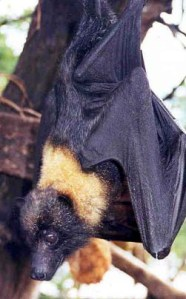 Guam Flying Fox - Pteropus tokudae