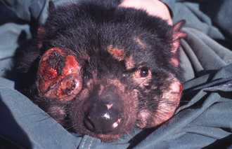 330px-Tasmanian_Devil_Facial_Tumour_Disease