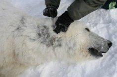 Polar-Bears01-400x266