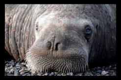 usgs-walrus-6