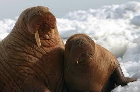walrus calf