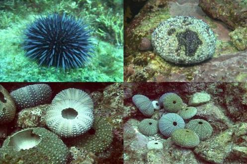 DDDB 508 urchins diseased