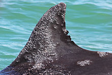 220px-Bottle-nosed-dolphin-Lobomycosis-disease