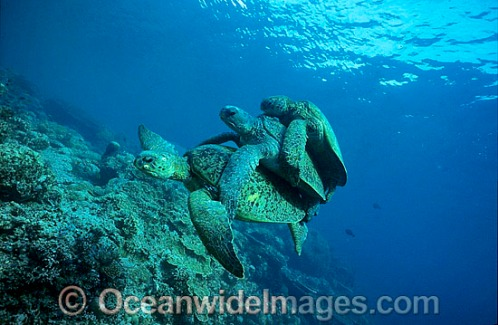 green-sea-turtle-24M2255-30