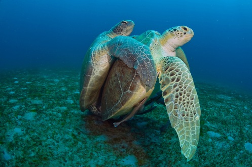 Green Sea Turtles (Chelonia mydas) mating