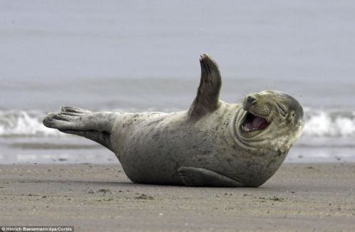 seal laughing