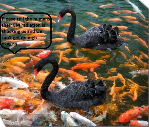 Black-Swan-Koi-Fish-16346