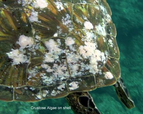 turtleshell4-1-15c
