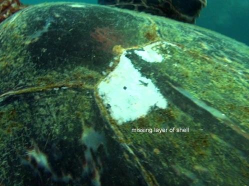 turtleshell4-1-15i