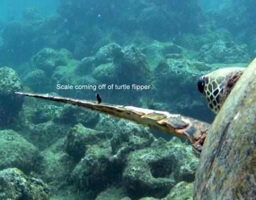 turtleshell4-1-15j