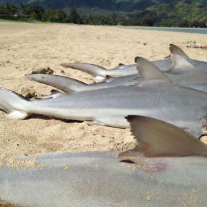 shark103