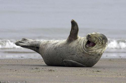 seal laughing