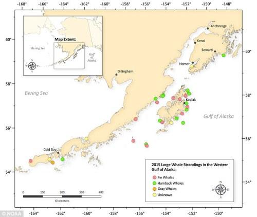 kodiak whales