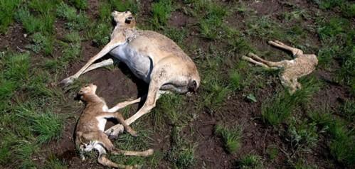 dead-antelopes-khazaksthan-700x334